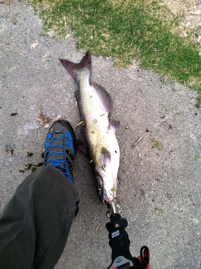 Catfish on a Senko