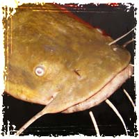 Catfish Up Close