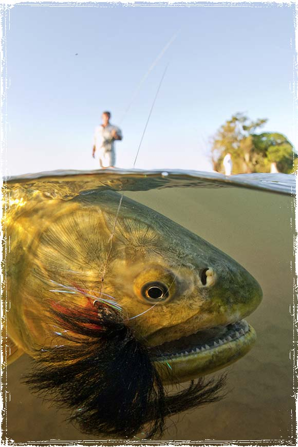 Fishing Golden Dorado Argentina
