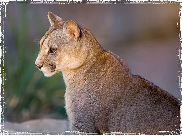 Patagonia Puma