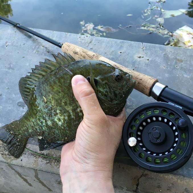 Fat Bluegill on a fly at Floyd Lamb Pond