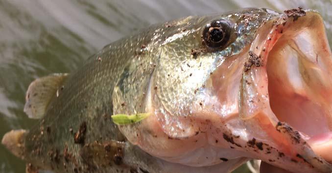 Catching a Largemouth Bass