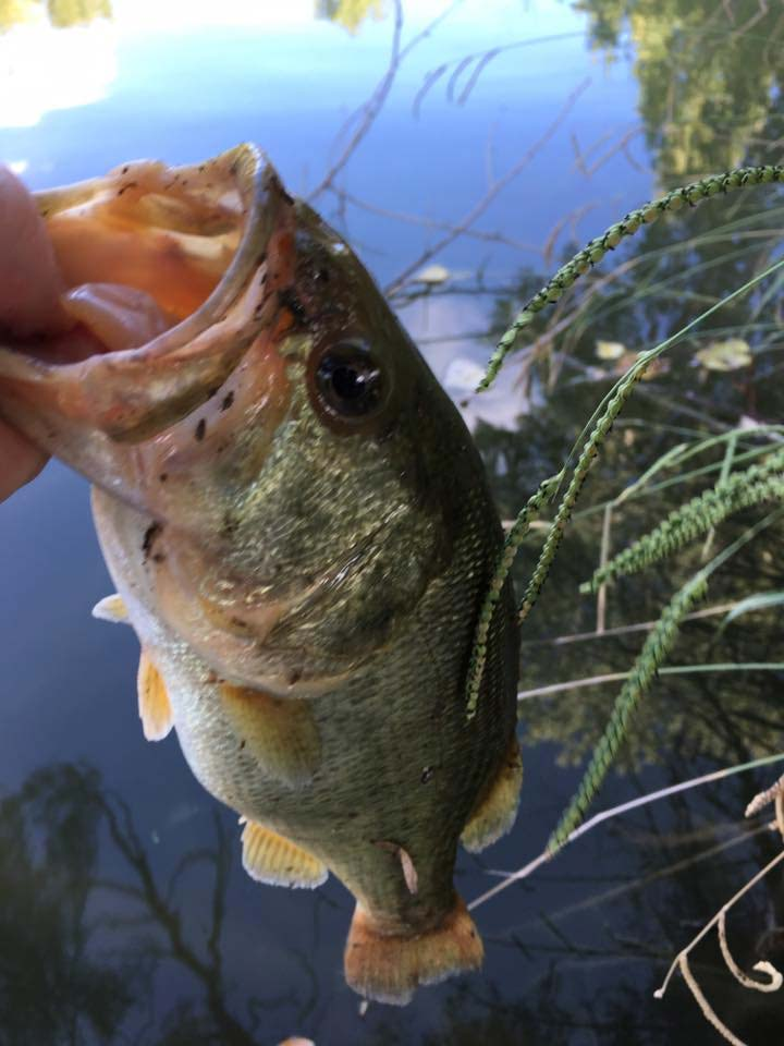 Largemouth Bass caught on a Yum Dinger